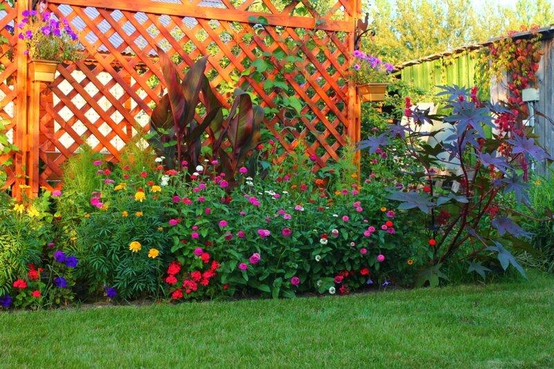 Циния цветов в клумбе